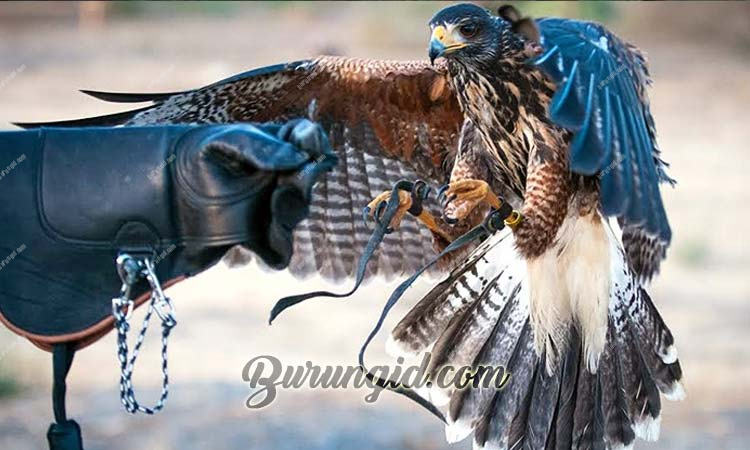 istilah falconry, falconry indonesia, falconry equipment