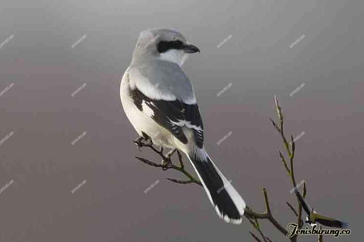jenis burung cendet Great grey shrike atau Northern shrike, Lanius excubitor