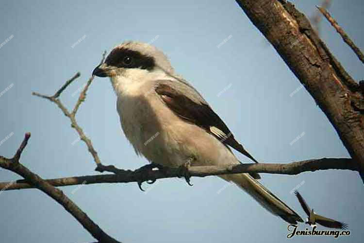 jenis burung cendet Lesser grey shrike, Lanius minor