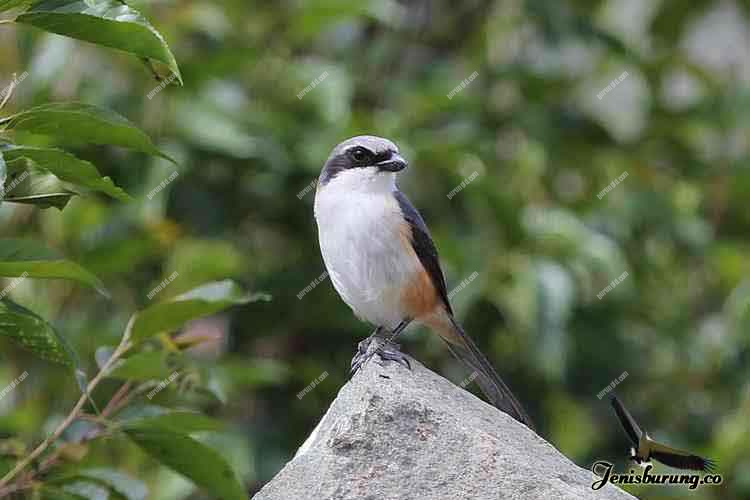 jenis burung cendet Mountain shrike atau Grey-capped shrike, Lanius validirostris