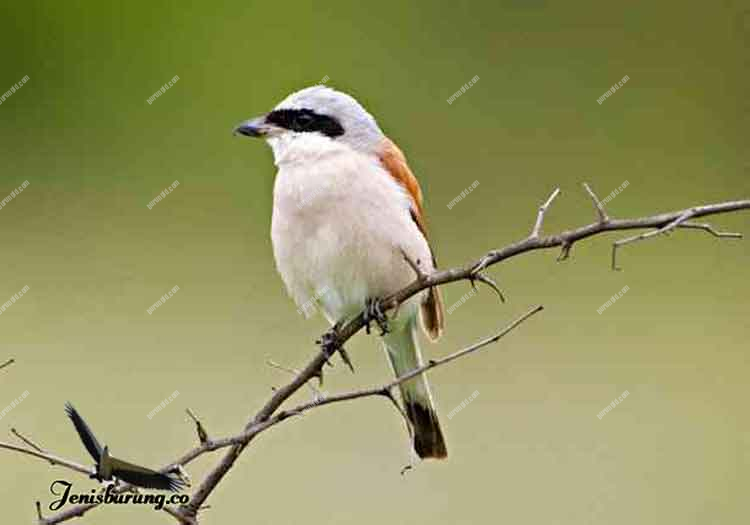 jenis burung cendet Red-backed shrike, Lanius collurio